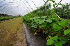 rote und gr?ne Erdbeeren im Wachstum stockfotografie