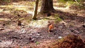 Rote und graue Eichhörnchen stock footage
