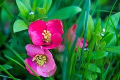 Rote und kleine blaue Blumen im Gras Lizenzfreie Stockbilder