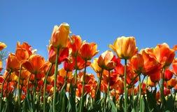 Rote und orangefarbene Tulpen Stockfotografie