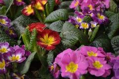 Rote und purpurrote Blumen Stockfoto