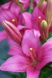 Rote und purpurrote Lilien Lizenzfreies Stockbild