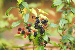 Rote und purpurrote wilde Beeren Lizenzfreie Stockfotografie