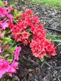 Rote und rosa Azalee Stockfotografie