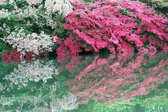 Rote und rosa Azaleen in der Blüte stockfoto