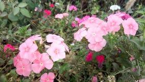 Rote und rosa Blumen, die Naturfoto überraschen Stockfotos