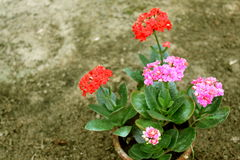 Rote und rosa Blumen im Topf Stockfoto