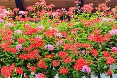 Rote und rosa Pelargonien stockbilder