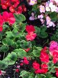 Rote und rosafarbene Blumen Stockfotografie