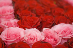 Rote und rosafarbene Rosen Lizenzfreies Stockbild