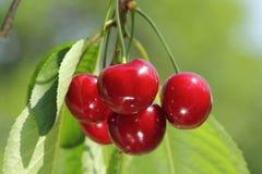 Rote und süße Kirschen Lizenzfreie Stockfotografie
