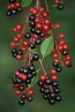 Rote und schwarze Beeren Lizenzfreies Stockfoto