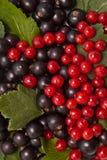 Rote und Schwarze Johannisbeere Lizenzfreies Stockfoto