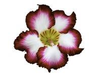 Rote und weiße Adeniumblume lokalisiert Lizenzfreies Stockbild