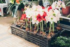 Rote und weiße Amaryllis-Blumen im Topf Stockfotografie