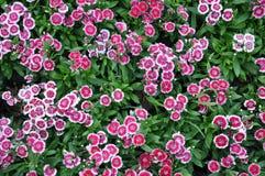 Rote und weiße Blume Stockbilder