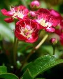 Rote und weiße Blumen Stockfoto