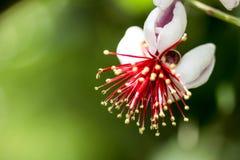 Rote und weiße Blumen des Makroschießens Lizenzfreie Stockfotografie