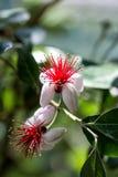 Rote und weiße Blumen des Makroschusses Lizenzfreie Stockfotografie