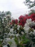 Rote und weiße Blumen im Regen Lizenzfreies Stockfoto