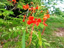 Rote und weiße Blumen und Blumen-Knospen Lizenzfreie Stockbilder
