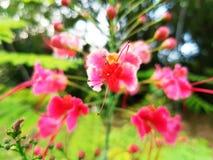 Rote und weiße Blumen und Blumen-Knospen summen laut Stockfotos