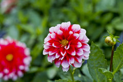 Rote und weiße dekorative Dahlien Stockfotografie