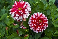 Rote und weiße dekorative Dahlienblume Stockbild