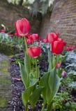 Rote und weiße Frühlings-Tulpen Stockbild