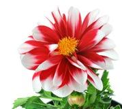 Rote und weiße gestreifte Dahlie mit dem Blütenstaub Lizenzfreie Stockbilder