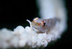 Rote und weiße Gobyfische Stockfoto