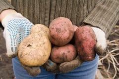 Rote und weiße Kartoffeln Stockbild