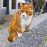 Rote und weiße Katze Stockfoto
