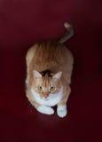 Rote und weiße Katze, die auf Burgunder liegt Stockbilder