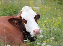 Rote und weiße Kuh, die in der Wiese weiden lässt Stockbild