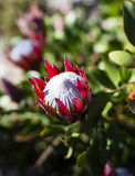 Rote und weiße Proteablüte Stockfotografie