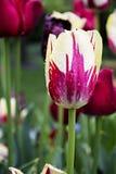 Rote und weiße Tulpe Stockbild