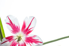 Rote und weiße Tulpe stockfotos