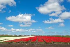 Rote und weiße Tulpe und blauer Himmel Stockfoto