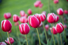 Rote und weiße Tulpen Stockfotografie