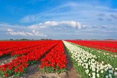 Rote und weiße Tulpen und blauer Himmel Lizenzfreie Stockbilder