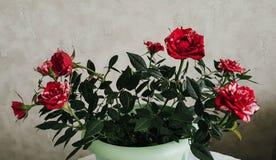 Rote und weiße Blumenblätter Inländische Minirosen stockfotografie