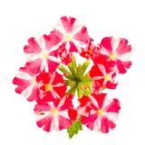Rote und weiße gestreifte Verbeneblumen Stockfotos