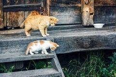 Rote und weiße Katze mit kleinen Kätzchen gegen eine hölzerne Wand der alten hölzernen Hütte in einer Landschaft Katze und zwei K Stockfotografie