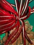 Rote Unterwasseranlage Stockfotografie