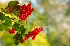 Rote Viburnumbeeren Stockfoto
