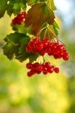 Rote Viburnumbeeren Lizenzfreie Stockbilder