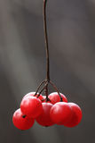 Rote Viburnumbeeren auf einer Niederlassung Lizenzfreies Stockbild
