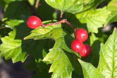 Rote Viburnumfrüchte hängt an einem Bündel Stockbilder
