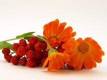 Rote Vogelbeere und gelbe Blumen Lizenzfreies Stockfoto